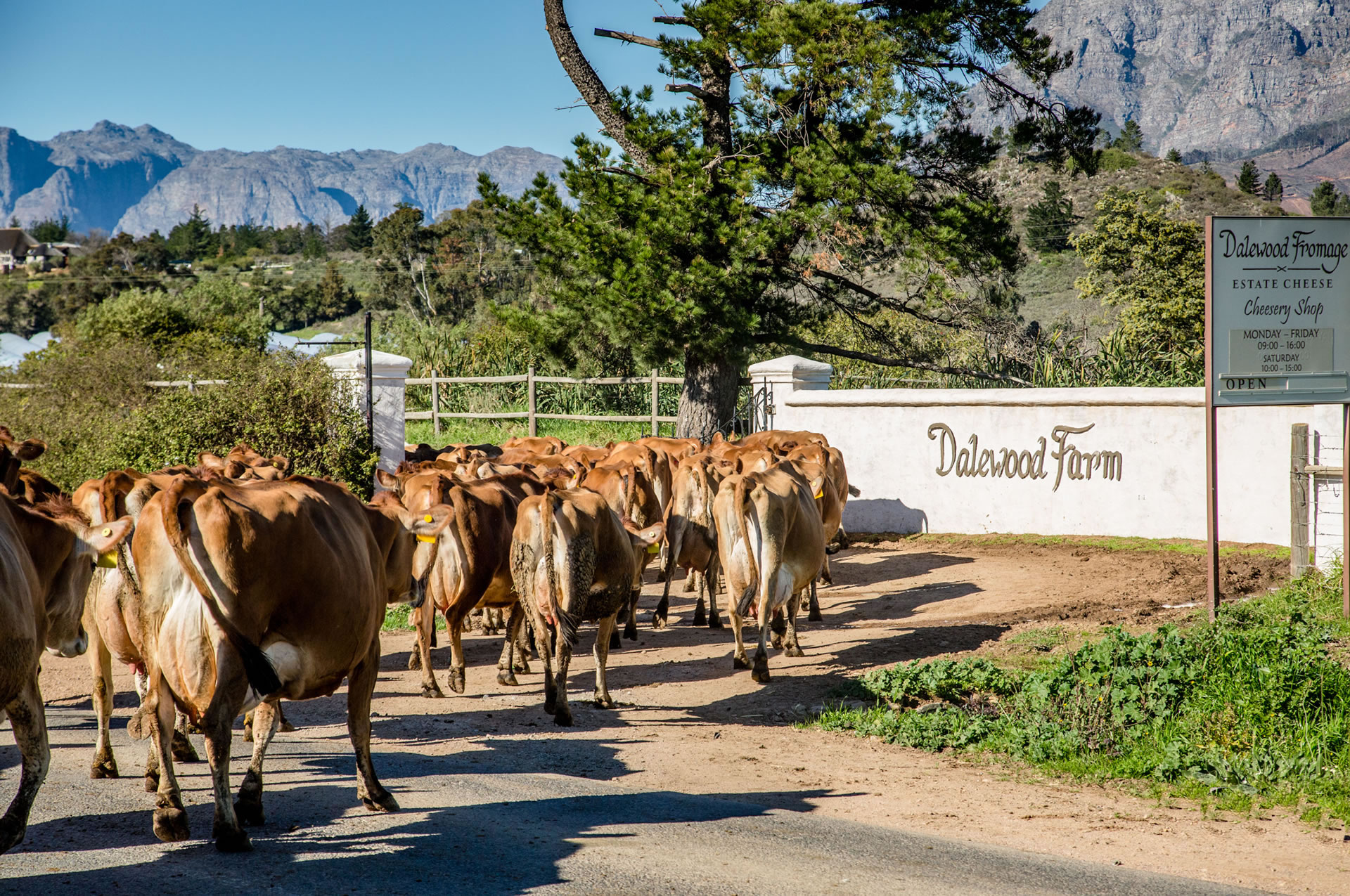 Artisanal Cheese Farm Cape Winelands, Cape Town, South Africa