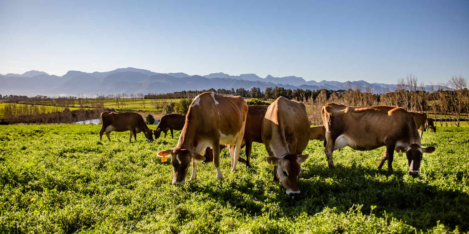 Artisanal cheese from the Cape Winelands, South Africa